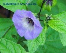 Shoo-Fly or clover broom flower