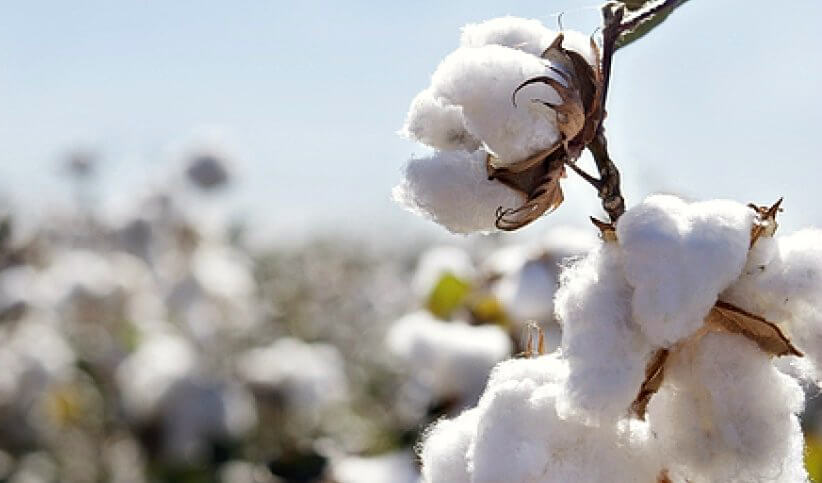 Closeup of cotton in the field