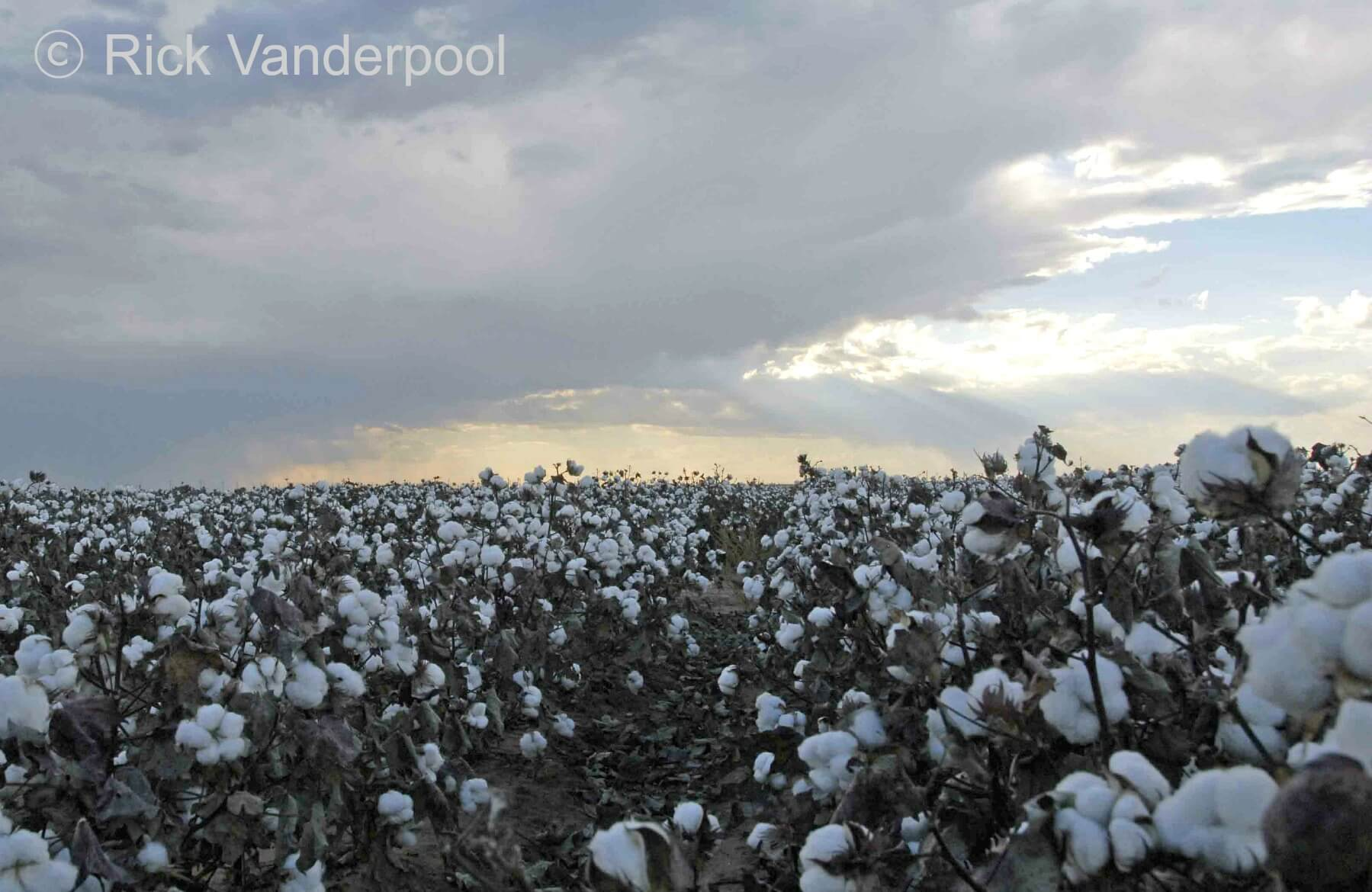 Field of cotton ready for harvest