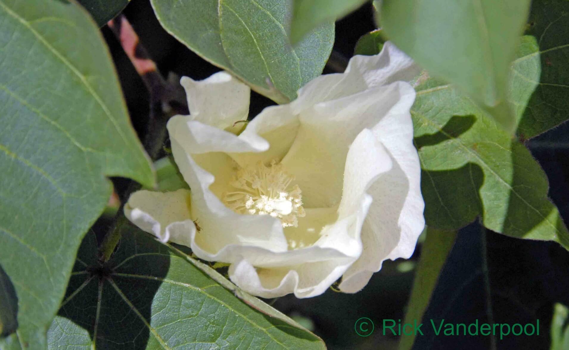 Pretty cotton bloom