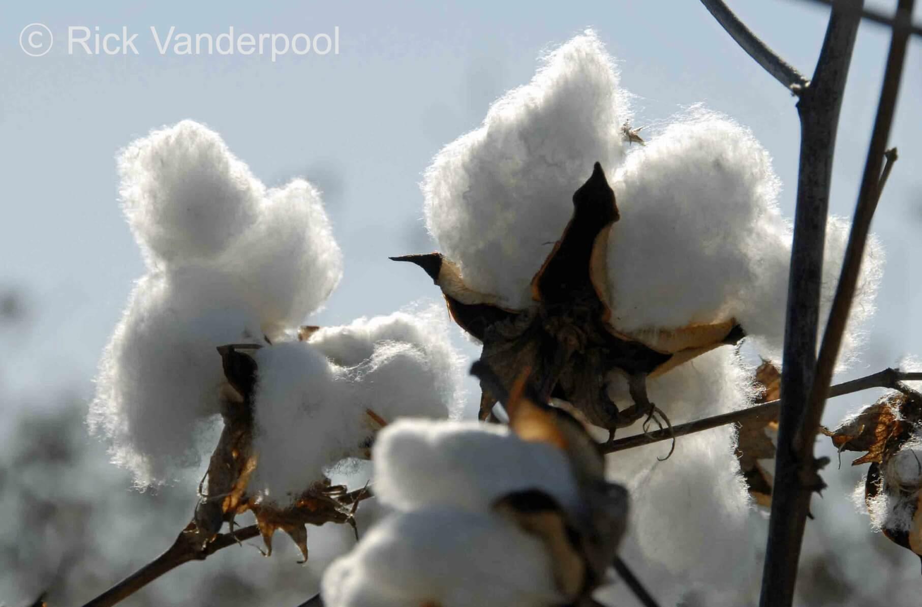 Fluffy cotton bolls