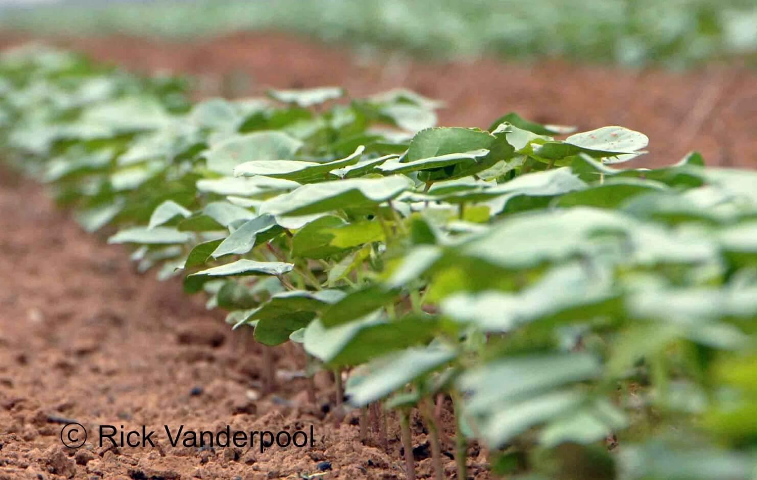 New cotton plants